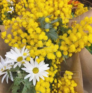 ミモザ 満開 マーガレット 春の花の写真・画像素材[1044635]