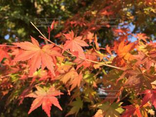 秋の紅葉の写真・画像素材[889188]