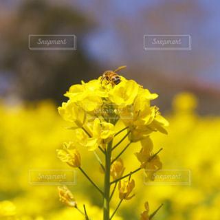 菜の花の写真・画像素材[1084931]