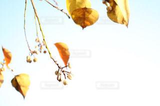 冬空の実の写真・画像素材[928513]