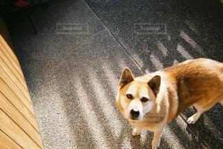 愛犬の写真・画像素材[954333]