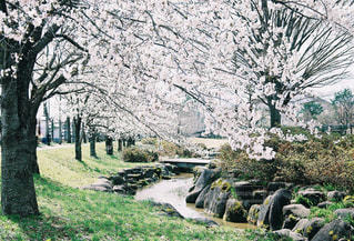 桜並木の写真・画像素材[1865456]