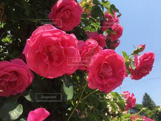 鮮やかな薔薇の写真・画像素材[892168]