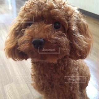 カメラを見る茶色い犬の写真・画像素材[903061]