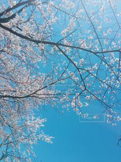 よく晴れた日の桜の木の下での写真・画像素材[1985353]