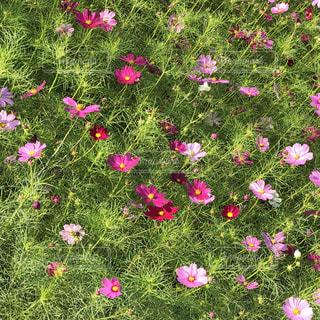 フィールドでピンクの花のグループ - No.890091