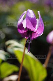 からくりの花の写真・画像素材[1087349]