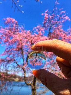 水晶の中に桜映えるの写真・画像素材[2048376]