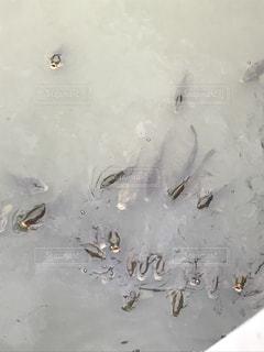 大量な川の鯉の写真・画像素材[890122]