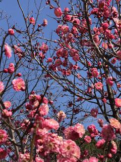 木にピンクの花の束の写真・画像素材[1016266]