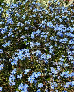 小さい青い花の写真・画像素材[906908]