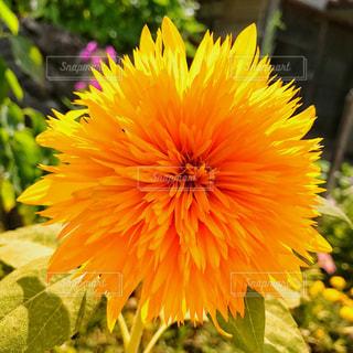 黄色の花の写真・画像素材[911999]