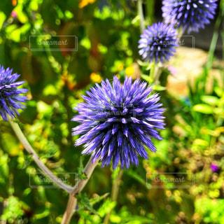 紫色の花 - No.912001