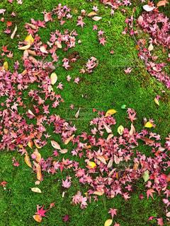 苔に映えるモミジの落ち葉 - No.913739