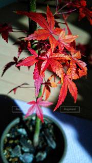 鉢植えモミジ - No.915159
