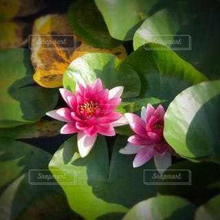 蓮の花の写真・画像素材[892912]