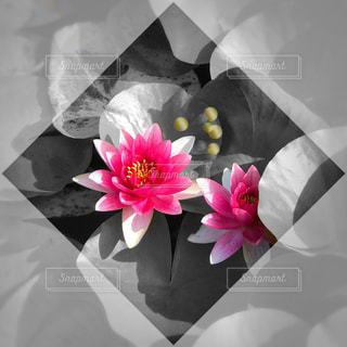 蓮の花の写真・画像素材[894793]