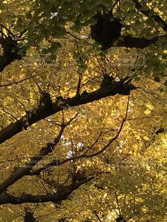 銀杏並木の写真・画像素材[891551]