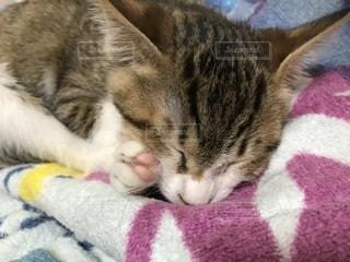 毛布の上に横になっている猫の写真・画像素材[891827]