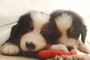可愛い可愛いバーニーズ・マウンテン・ドッグの写真・画像素材[892814]