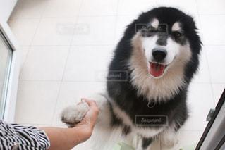 握手してくれるワンちゃんの写真・画像素材[892815]