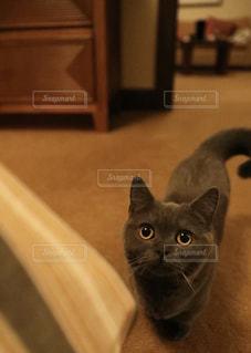 木製の床の上に座っている猫の写真・画像素材[1589510]