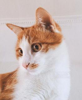 オレンジ色のネコの写真・画像素材[1596606]