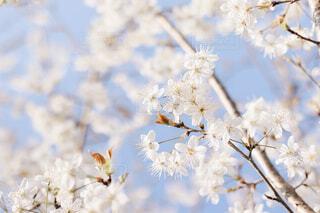 桜の木の写真・画像素材[4215049]