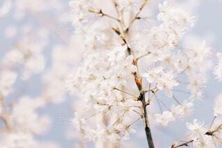 春桜の写真・画像素材[4215047]