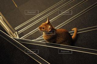 猫カフェの猫の写真・画像素材[905747]