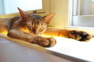猫カフェの猫 - No.905762