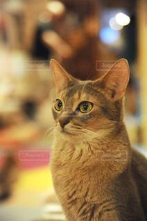 猫カフェの猫の写真・画像素材[905777]