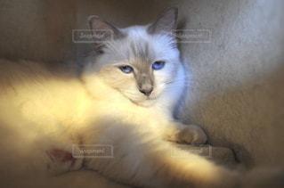 猫カフェの猫の写真・画像素材[905778]