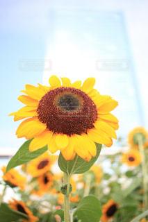 空を向く向日葵の写真・画像素材[2408945]