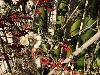 梅の花 - No.951160