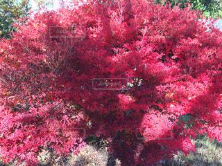 ピンクの花の木 - No.895309