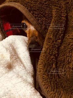モコモコ毛布と犬の写真・画像素材[893900]