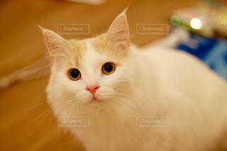 テーブルの上に座ってオレンジと白猫の写真・画像素材[1239943]