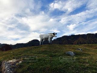 緑豊かな草原立っている牛の写真・画像素材[893781]