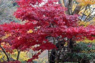 鮮やかな紅葉の写真・画像素材[895080]