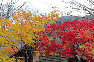 紅葉と黄葉の写真・画像素材[895124]