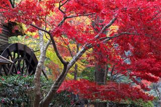 鮮やかな紅葉樹の写真・画像素材[895129]