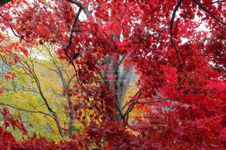 咲き乱れる紅葉の写真・画像素材[895133]