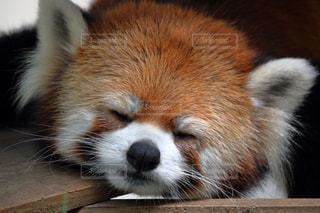 レッサーパンダ おやすみなさいの写真・画像素材[899271]