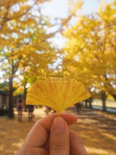 銀杏の葉 - No.893912