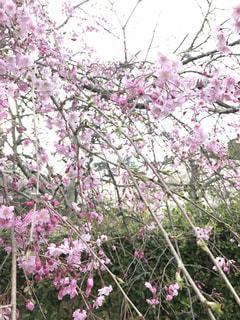 枝垂れ桜の写真・画像素材[894127]