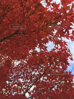 赤い葉の木の写真・画像素材[894328]