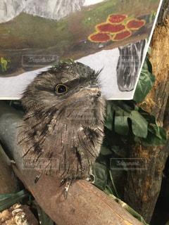 フクロウの写真・画像素材[894426]