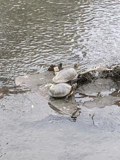 水の下を泳ぐカメの写真・画像素材[2374826]