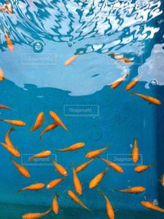 魚の写真・画像素材[288021]